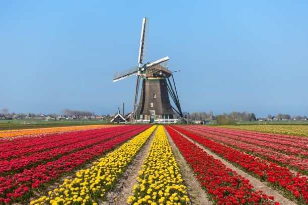 tulips-windmill-holland small
